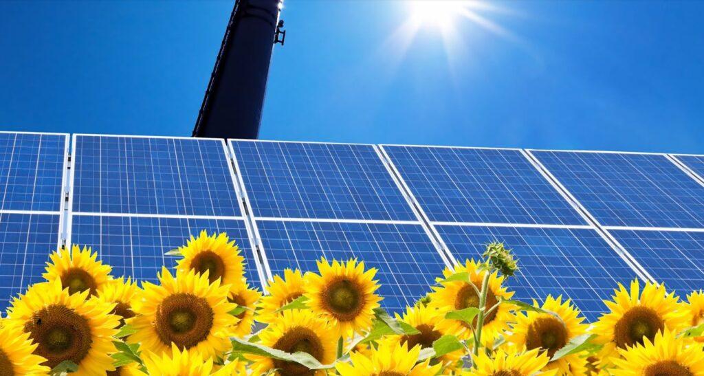 Solceller bakom solroser